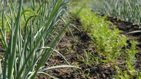 Plantação nova da cebola e da cenoura Tiro motorizado da zorra vídeos de arquivo