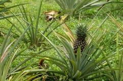 Plantação pequena do abacaxi imagens de stock royalty free