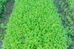 Plantação verde do aipo Fotos de Stock