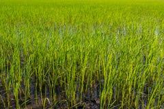 Plantação verde do campo do arroz que necessidades de estar na água Fotografia de Stock Royalty Free