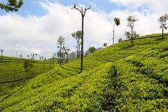 Plantação verde do chá de Ceilão Fotos de Stock Royalty Free