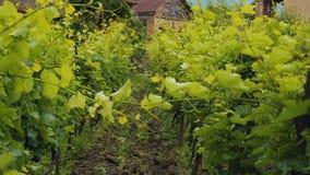 A plantação verde enorme das uvas aproxima a casa, negócio de cultivo da família, winemaking video estoque