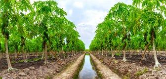 Plantações da papaia Foto de Stock Royalty Free
