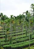 Plantações da porca do chá e de areca - paisagem em Kerala, Índia Foto de Stock Royalty Free