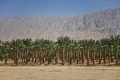 Plantações das palmas de datas em Israel Imagens de Stock