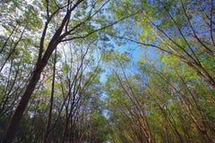 Plantações de borracha Imagem de Stock Royalty Free