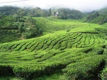 Plantações de chá. Imagem de Stock