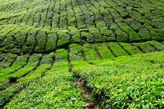 Plantações de chá fotos de stock royalty free