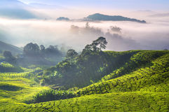 Plantações de chá fotografia de stock