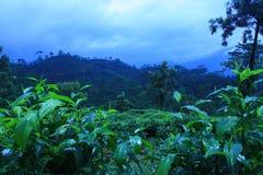 Plantações de chá Fotografia de Stock Royalty Free