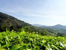 Plantações de chá Brinchang Cameron Highlands Malaysia Fotografia de Stock