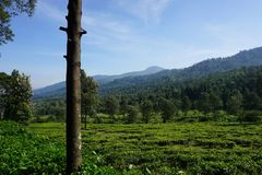 Plantações de chá com cor verde e paisagem bonita como o fundo imagens de stock
