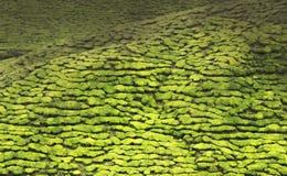 Plantações de chá completas do quadro no campo malaio Foto de Stock Royalty Free