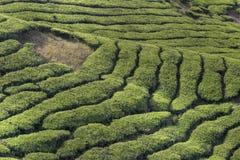 Plantações de chá de Cameron Imagens de Stock Royalty Free