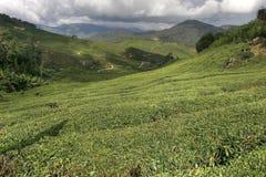 Plantações de chá de Cameron Fotos de Stock Royalty Free
