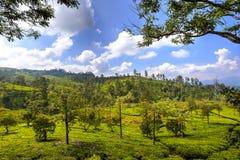Plantações de chá em Nuwara Eliya, Sri Lanka Imagem de Stock Royalty Free