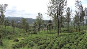 Plantações de chá de Sri Lanka video estoque