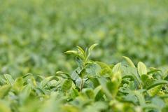 Plantações de chá verde Fotografia de Stock Royalty Free