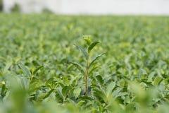 Plantações de chá verde Imagens de Stock Royalty Free