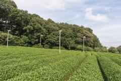 Plantações de chá verde Foto de Stock