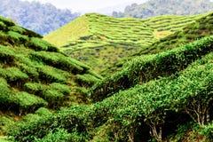Plantações de chá verde de Cameron Highlands em Malásia fotos de stock