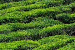 Plantações de chá verde de Cameron Highlands em Malásia fotos de stock royalty free