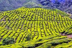 Plantações de chá verde de Cameron Highlands em Malásia imagem de stock royalty free