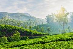 Plantações de chá verde em Munnar, Kerala, Índia Foto de Stock