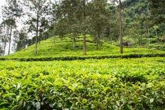 Plantações e monte de chá Imagens de Stock