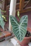 A planta é chamada antúrio, versão 1 foto de stock