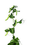 A planta é um vegetal das ervilhas isoladas Fotos de Stock Royalty Free