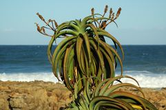 Planta #2 do aloés Fotografia de Stock Royalty Free