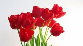 Planta abierta del crecimiento de la flor del jardín del timelapse del tulipán almacen de metraje de vídeo