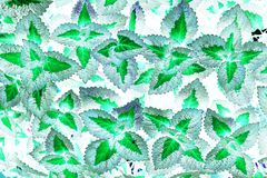 Planta abstracta del coleo Foto de archivo