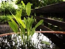 Planta acuática Fotografía de archivo libre de regalías