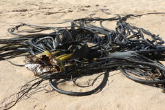 Planta acuática en la playa Fotografía de archivo