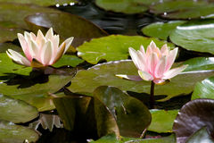 Planta acuático Fotos de archivo libres de regalías