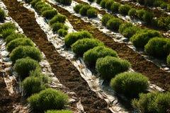 Planta agrícola Fotografia de Stock