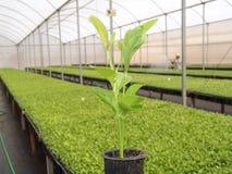 Planta alaranjada Fotografia de Stock Royalty Free