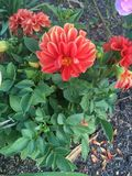 Planta alaranjada da flor Fotografia de Stock Royalty Free