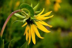 Planta alpina do girassol na flor. Imagens de Stock