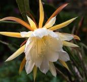 Planta amarela da flor do epiphyllum imagens de stock