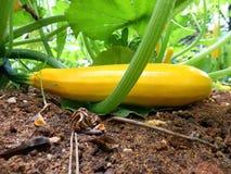 Planta amarela do Courgette Imagem de Stock Royalty Free