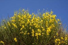 Planta amarela do junceum do spartium Imagens de Stock Royalty Free