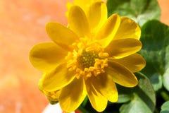 Planta amarela macro da flor no começo da mola Flor das folhas amarelas da cor e do verde Imagens de Stock