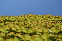 Planta amarela no céu azul Imagens de Stock