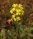 Planta amarilla de la flor de la mostaza Fotografía de archivo libre de regalías