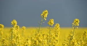 Planta amarilla de la violación y cielo oscuro Imagen de archivo libre de regalías
