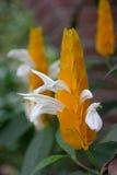 Planta amarilla del camarón de la reina Imágenes de archivo libres de regalías