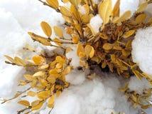 Planta amarilla en nieve Imagen de archivo